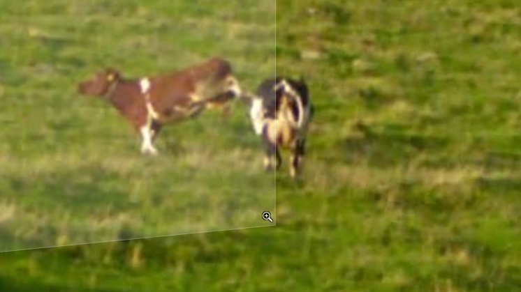 this-crazy-cow-captured-via-google-street-view-should-be-in-the-rodeo