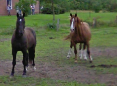 google-maps-street-view-captures-a-five-legged-horse-in-holland