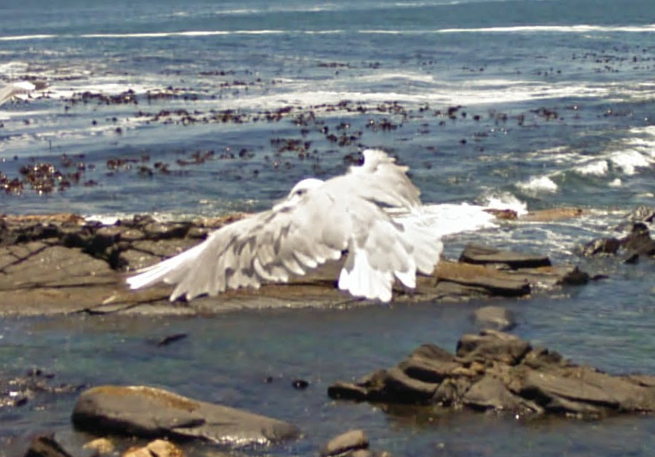 south-african-seagull