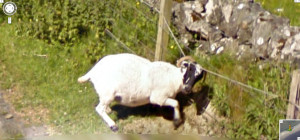 google-street-view-goat-stuck0in-fence