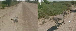 google-street-view-run-over-donkey